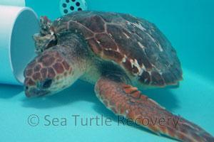 SeaTurtleRecovery-21-002 loggerhead sea turtle patient